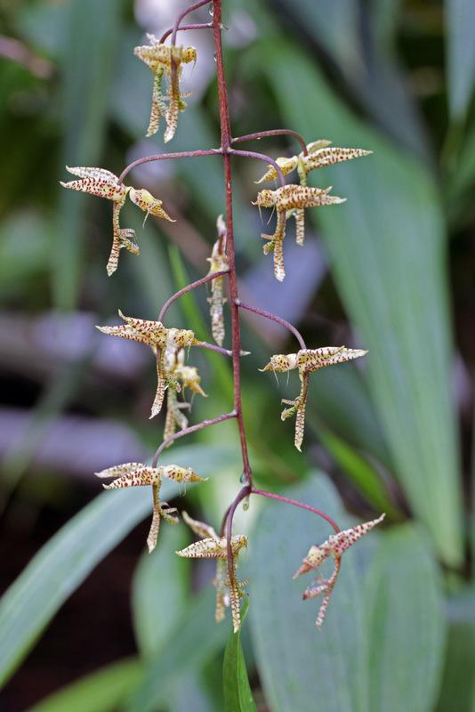 Photo of Orchid (Gongora maculata) uploaded by RuuddeBlock