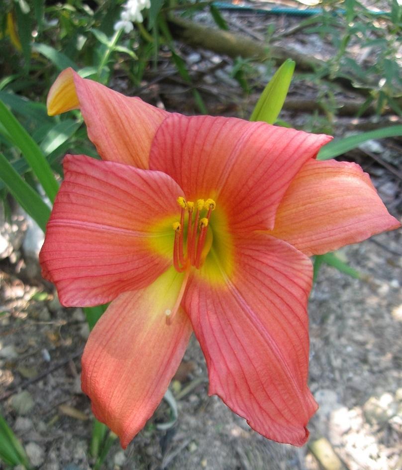 Photo of Daylily (Hemerocallis 'Palace Jewel') uploaded by bron