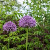 Location: Clinton, Michigan 49236Date: 2017-10-29Allium 'Globemaster', 2017, [ornamental onion], AL-ee-u