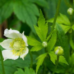 Anemone virginiana, 2015, Tall Anemone, a-NEM-o-nee, 30 in. Peren