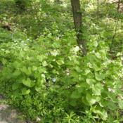 Location: Clinton, Michigan 49236Date: 2017-10-29Alliaria petiolata, 2015, Garlic Mustard, al-ee-AR-ee-uh pet-ee-o