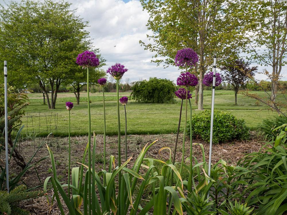Photo of Flowering Onion (Allium 'Purple Sensation') uploaded by frankrichards16