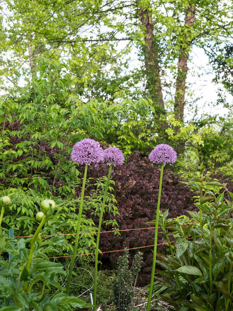 Photo of Giant Onion (Allium giganteum 'Globemaster') uploaded by frankrichards16