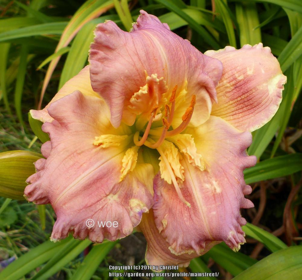 Photo of Daylily (Hemerocallis 'Greetings Earthling') uploaded by mainstreet
