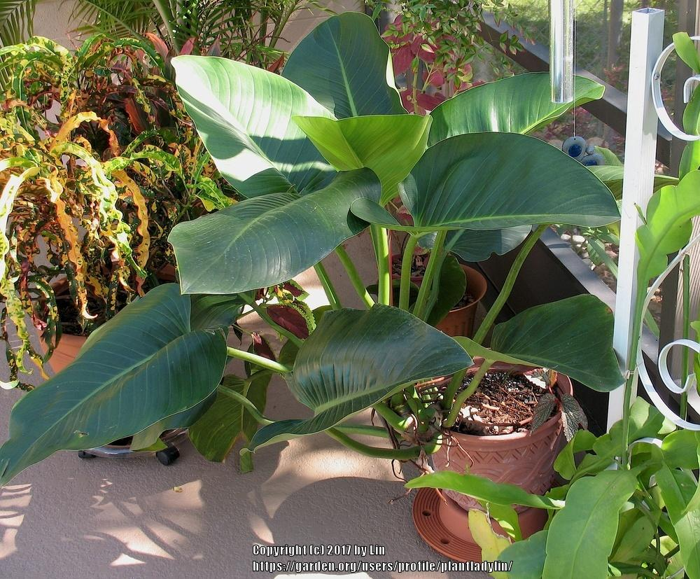 Photo of Philodendron (Philodendron tatei subsp. melanochlorum 'Congo') uploaded by plantladylin