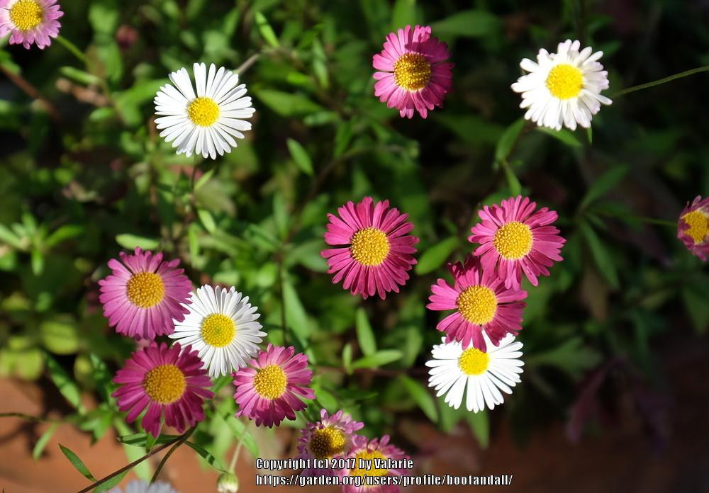 Photo of Santa Barbara Daisy (Erigeron karvinskianus) uploaded by bootandall