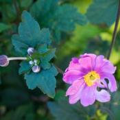 Location: Clinton, Michigan 49236Date: 2017-10-30Anemone x hybrida 'Serenade', 2016, Japanese Anemone, W