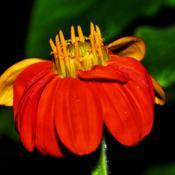 Location: Botanical Gardens of the State of Georgia...Athens, GaDate: 2017-10-05Mexican Sunflower 002