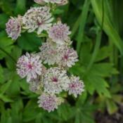 Location: Clinton, Michigan 49236Date: 2017-10-31Astrantia major 'Sunningdale Variegated', 2015, Masterw