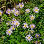 Location: Clinton, Michigan 49236Date: 2017-10-31Boltonia asteroides var. latisquama 'Nana', 2015, false aster, bo