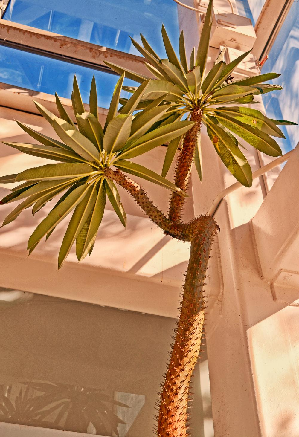 Photo of the entire plant of Madagascar Palm (Pachypodium lamerei ...