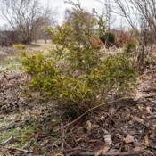 Location: Clinton, Michigan 49236Date: 2017-11-02Chamaecyparis pisifera 'Golden Mop', 2017, [Sawara False Cypress]
