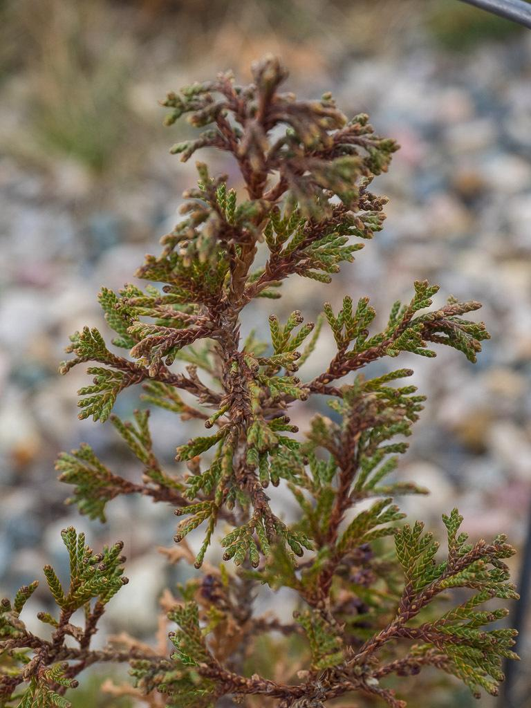 Photo of the leaves of Atlantic White Cedar (Chamaecyparis thyoides ...