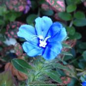 Location: In my garden, Falls Church, VADate: 2017-09-07This blue color is awesome!