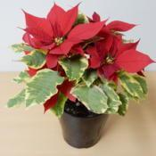 Location: Tochigi, JapanDate: 2016-12-30sold as poinsettia 'tapestry'