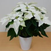 Location: Tochigi, JapanDate: 2016-11-20sold as poinsettia 'princettia 'pure white'