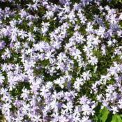 Location: Nora's Garden - Castlegar, B.C. Date: 2016-05-01 12:06 pm. A refreshing carpet of mauve blue in the spr