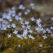 Location: Sharps Chapel, TennesseeWild bluets