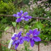 Location: Clinton, Michigan 49236Date: 2017-11-05Clematis 'Franziska Maria', 2017, Double [Clematis] (Ty