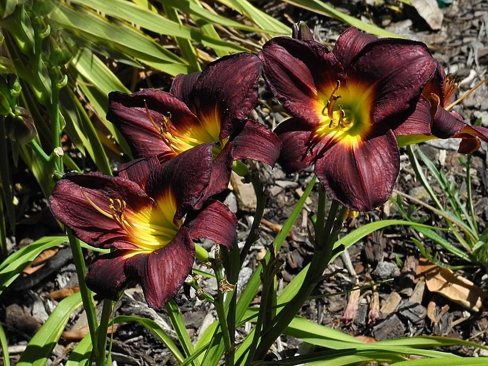 Photo of Daylily (Hemerocallis 'Alaskan Midnight') uploaded by BarbandDave
