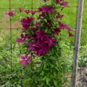 Location: Clinton, Michigan 49236Date: 2017-11-06Clematis 'Kiviruut', 2017, [RUUTEL™ Clematis] (Type3-
