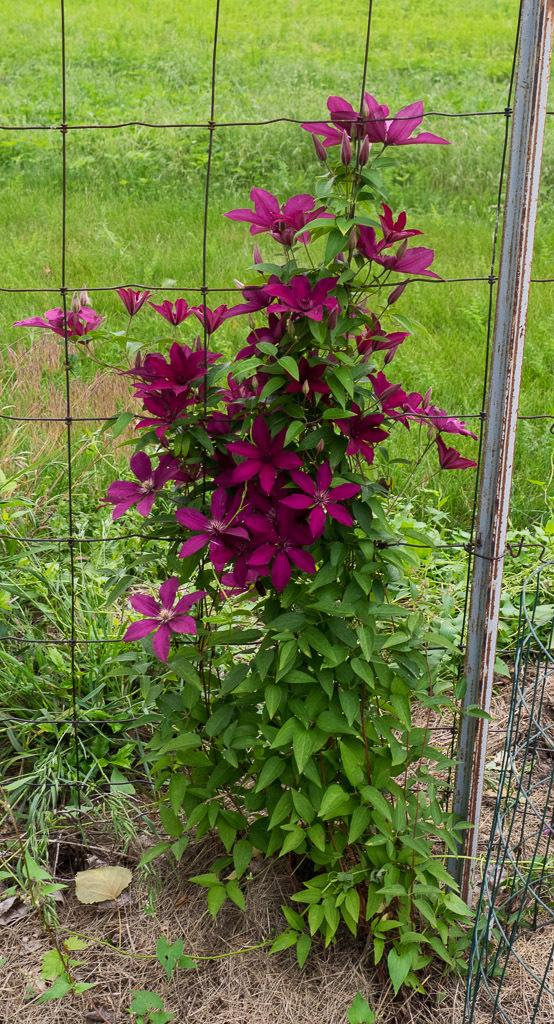 Photo of Clematis 'Ruutel' uploaded by frankrichards16