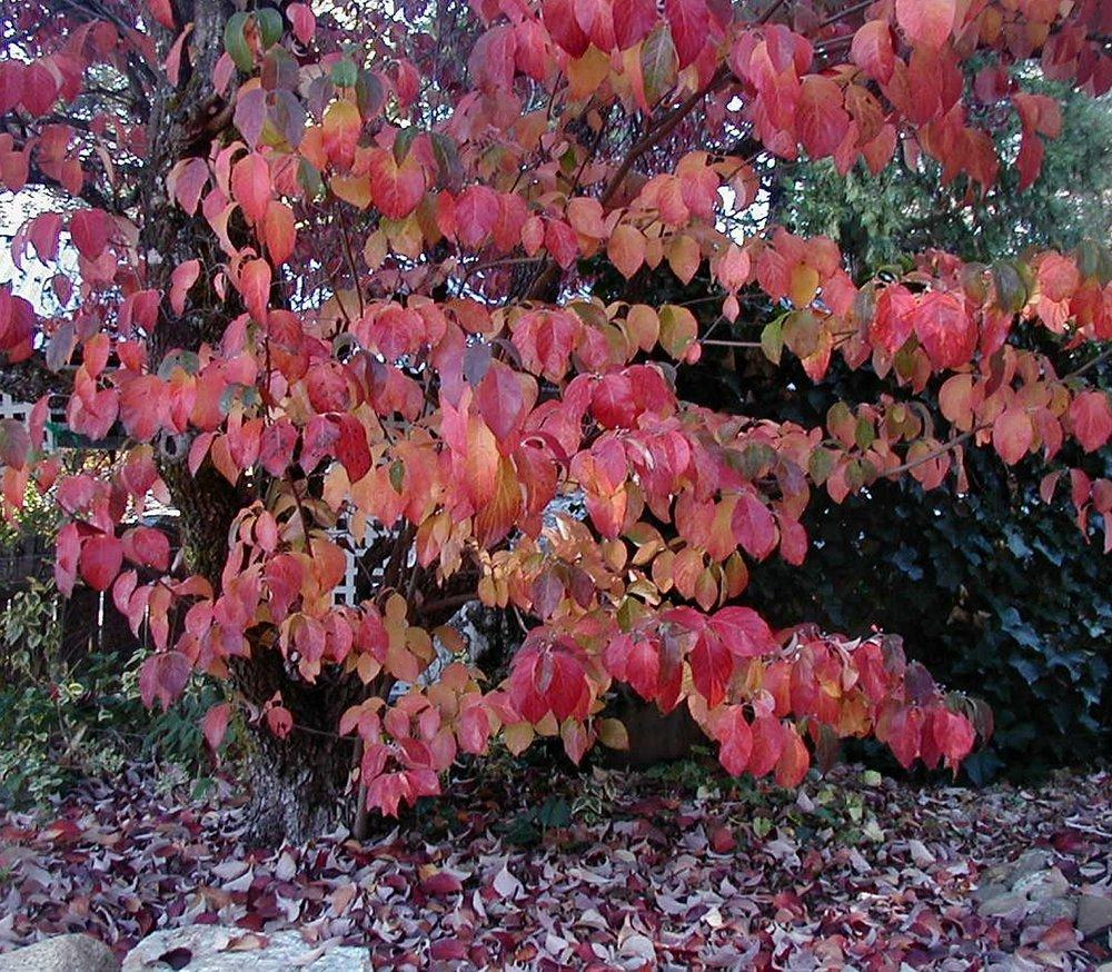 Dogwoods Plant Care And Collection Of Varieties Garden