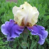 Location: My Garden - Delphi, IndianaDate: 2009 or 2010 ?Maiden Bloom - Side View