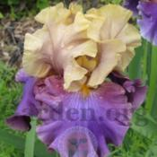 Location: My Garden - Delphi, IndianaPhoto May Look Better than actual Iris does - Maiden Bl