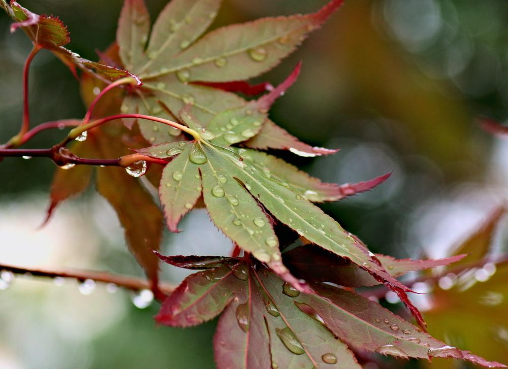 Photo of Japanese Maple (Acer palmatum 'Bloodgood') uploaded by dirtdorphins