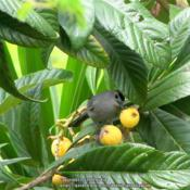 Location: Daytona Beach, FloridaDate: 2010-04-25A favorite fruit of the Gray Catbird!