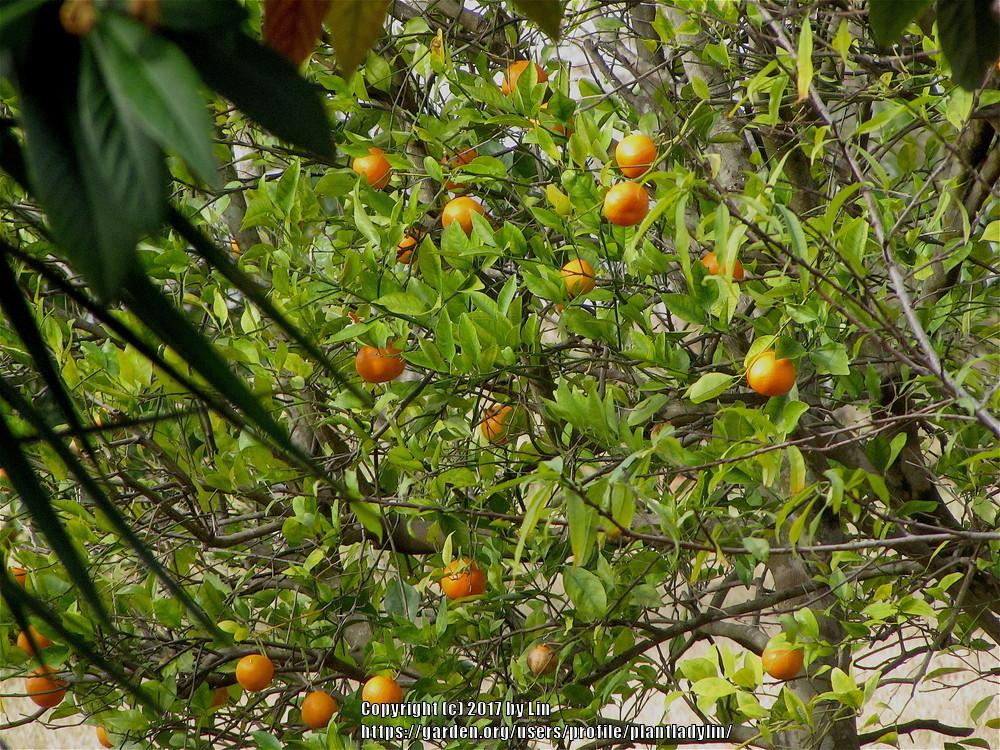 Photo of Tangerine (Citrus reticulata) uploaded by plantladylin