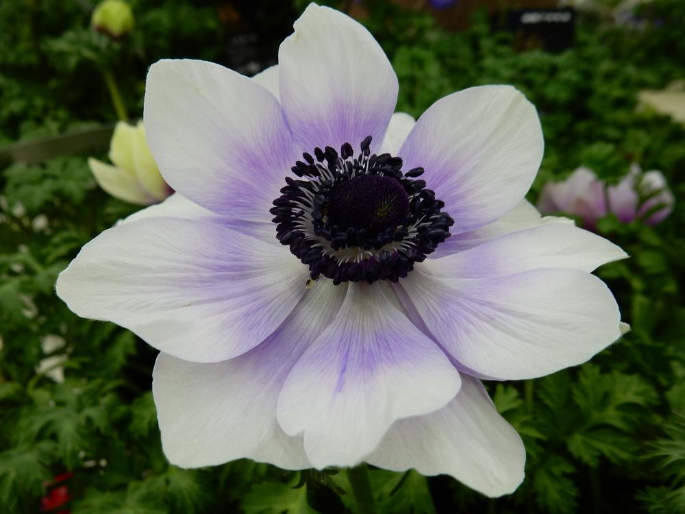 Anemones plant care and collection of varieties garden add or edit informational text about this plant mightylinksfo