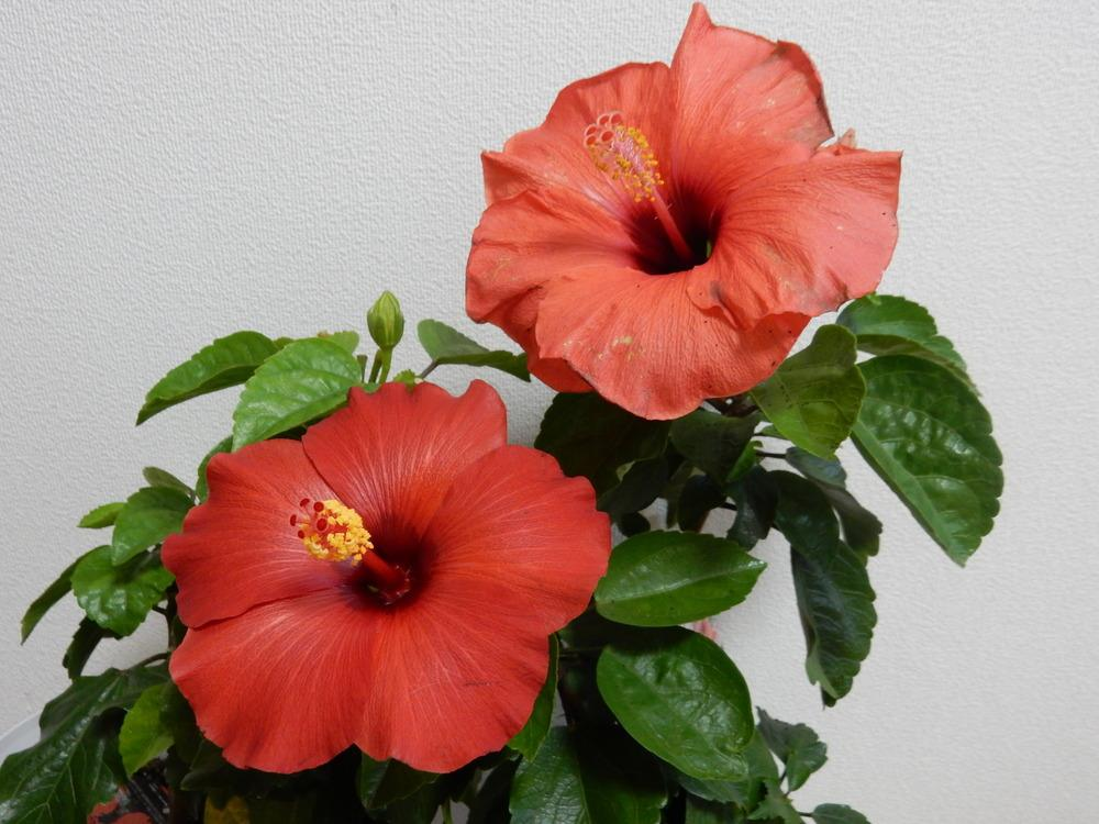 Photo of Tropical Hibiscuses (Hibiscus rosa-sinensis) uploaded by tofitropic