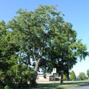 Location: southeast PennsylvaniaDate: July 2011mature Persimmon tree in summer