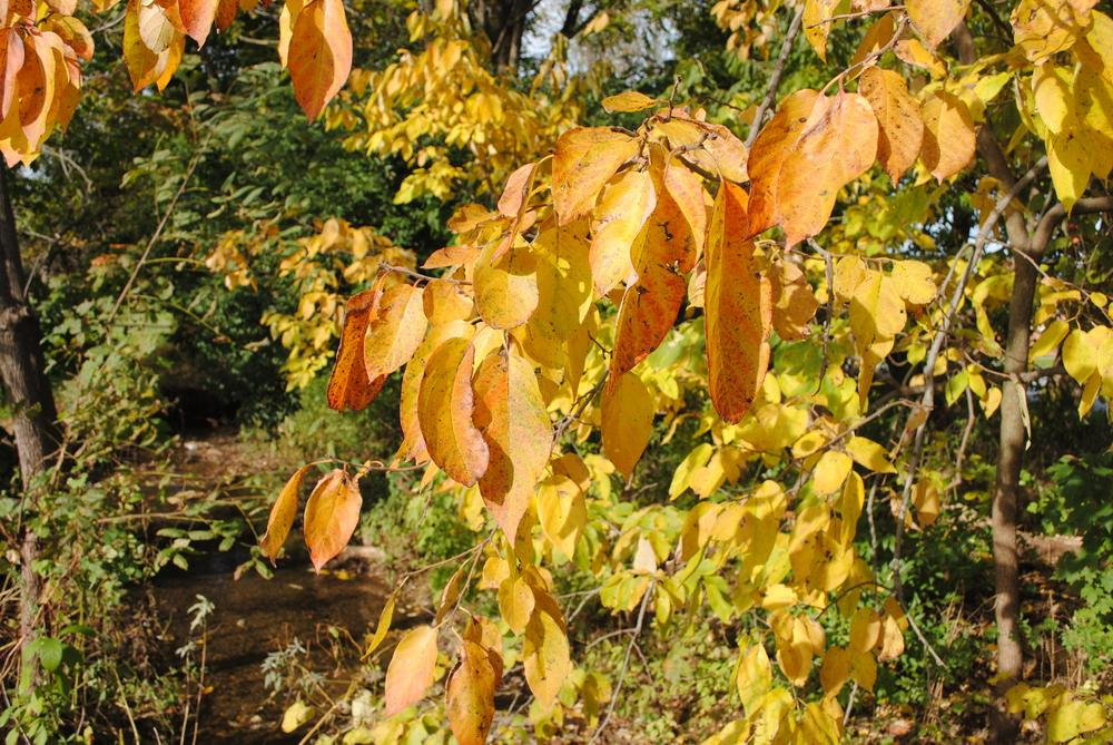 Photo of American Persimmon (Diospyros virginiana) uploaded by ILPARW