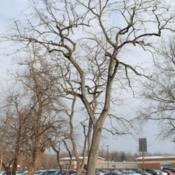 Location: southeast PennsylvaniaDate: January 2010mature tree in winter