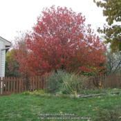 Location: My next door neighbor's tree, taken from my backyard in Northern KY.Date: 2007-11-13