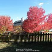 Location: My neighbor's three Red Sunset trees in Northern KY.Date: 2010-10-14