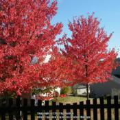 Location: A closer view of two of my neighbor's three Red Sunset trees.Date: 2010-10-14