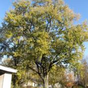 Location: My Yard - Delphi, IndianaWe in Indiana call these Hard Maples (versus the Sugar Maples)