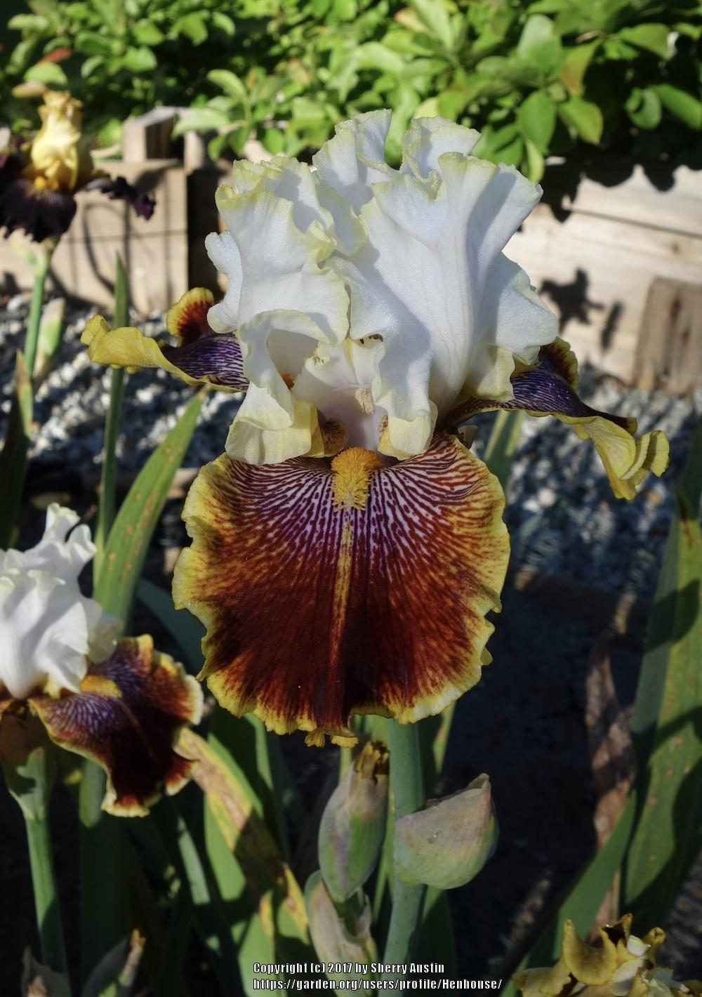 Photo of Tall Bearded Iris (Iris 'Carousel of Dreams') uploaded by Henhouse