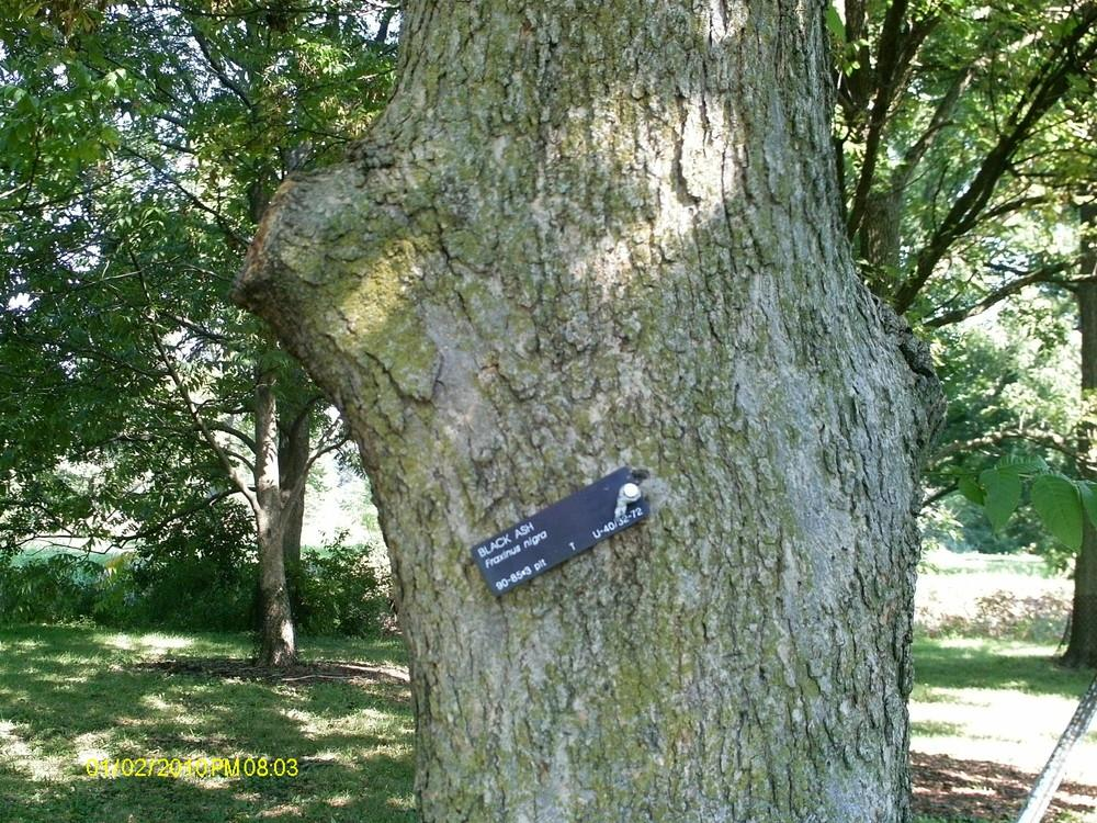 Photo of Black ash (Fraxinus nigra) uploaded by ILPARW
