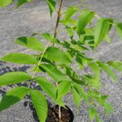 Location: southeast PennsylvaniaDate: June 2014sapling in container bought from native nursery