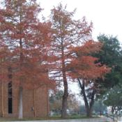 Location: San Marcos, TexasDate: FallBald Cypress: a stunning tree, no matter the season