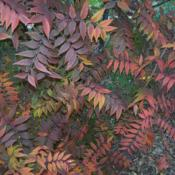 Location: San Marcos, TexasDate: fallInteresting shapes and colors of leaves
