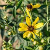 Location: Clinton, Michigan 49236Date: 2017-11-10Coreopsis tripteris 'Flower Tower Strain', 2016, Tickseed, kor-ee