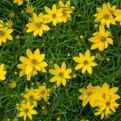 Location: Clinton, Michigan 49236Date: 2017-11-10Coreopsis verticillata 'Zagreb', 2015, Threadleaf, Tick