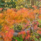 Location: Riverview, Robson, B.C. Date: 2012-10-16 3:12 pm. A joy in both seasons of colour.
