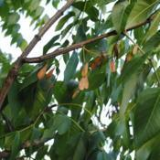 Location: Batavia, Illinois near Fox RiverDate: 2016-07-23the samaras, a dry fruit of a seed with a wing